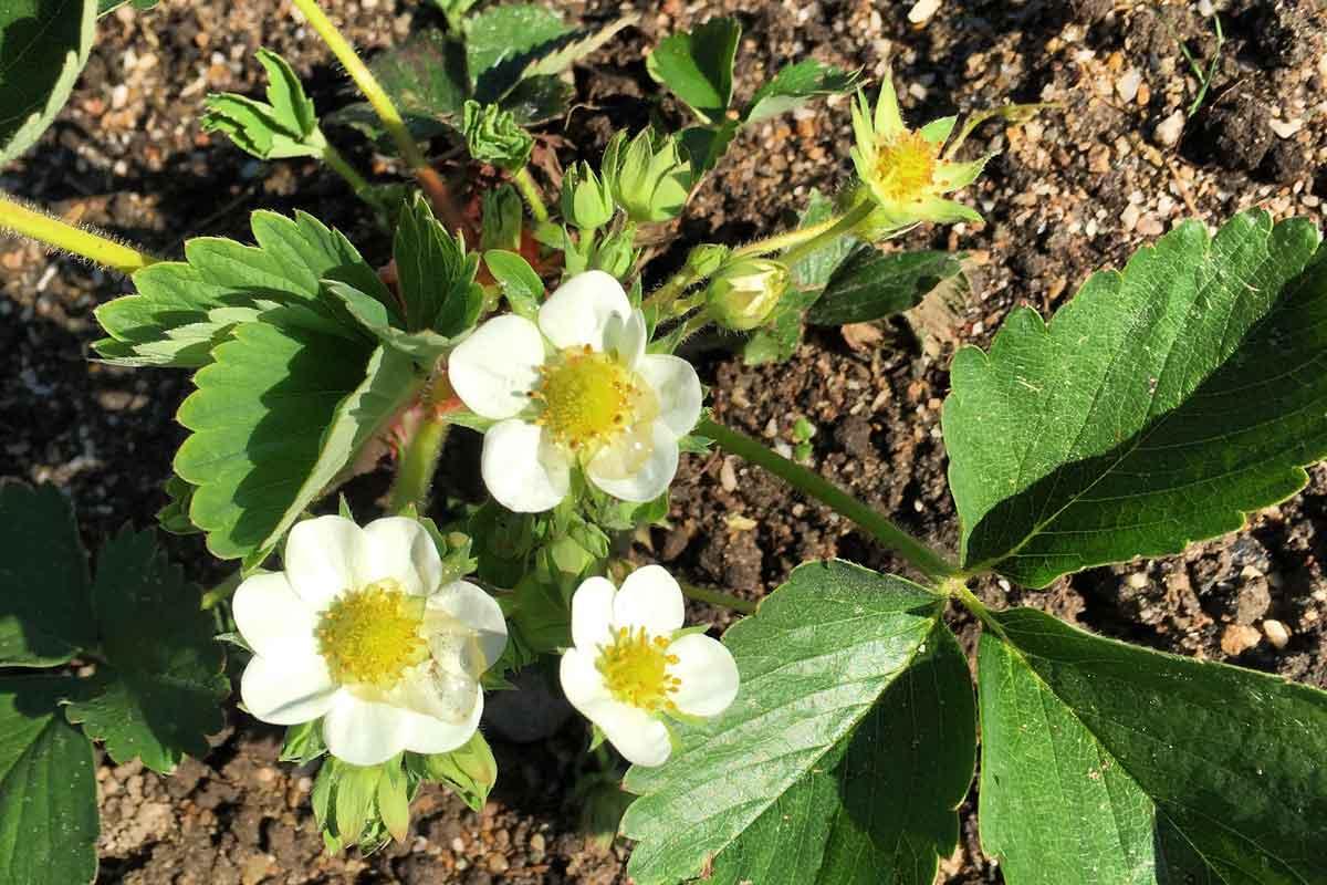 aardbeienplant-klein-bloemetjes