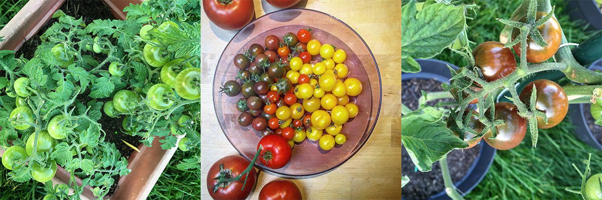drieluik-tomaten