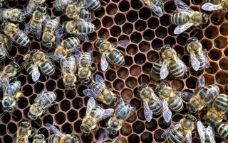 bijen-larven-honingraat-close-up