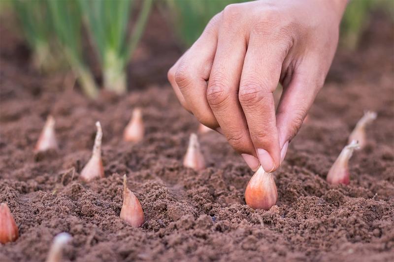 knoflook-planten-in-oktober